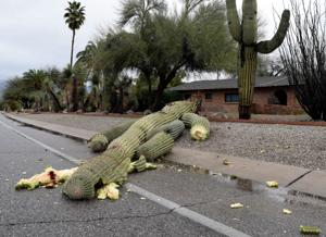 Photo: Large saguaro brought down by storm