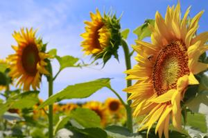 Photos: Sunflower fields