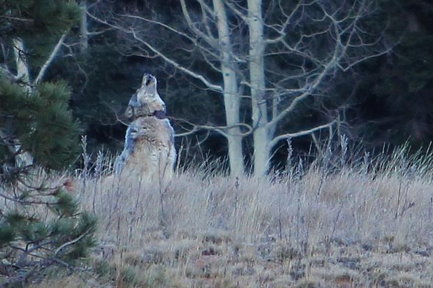 A gray wolf or a hybrid near the Grand Canyon? Authorities say they don't know