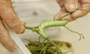 Tomatoes, Part 2: Soil, pests and diseases