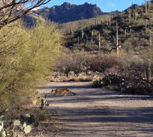 Sabino Canyon mountain lion caught on video