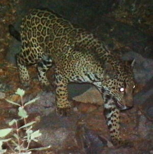 Biologists who warned of harm to jaguar were overruled