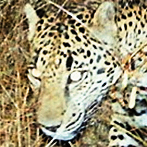 Video shows only known US jaguar roaming Arizona mountains