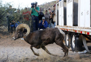 Photos: Bighorn sheep capture and release