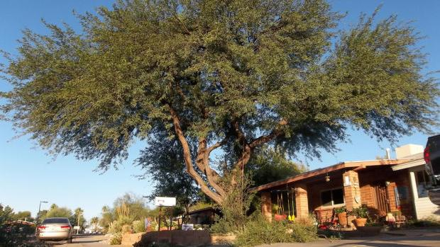 A Guide To Mesquite And Palo Verde Trees Home And Garden