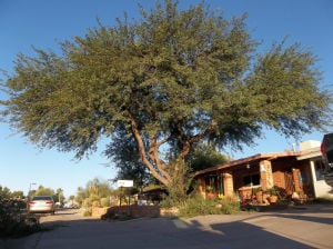 A guide to mesquite and palo verde trees