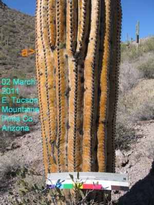 Freeze-dried saguaros?