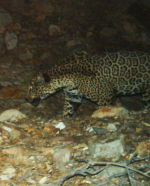 Jaguar roves near Rosemont mine site