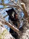 Arizona Game and Fish relocates bear treed in Sierra Vista