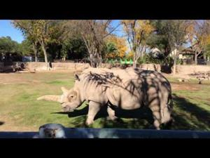 Watch how to give a rhino a back rub