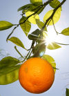 Donate homegrown citrus to food bank Saturday