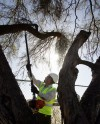 Mistletoe parasite, seldom a killer