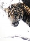 Guide describes roaring, powerful jaguar