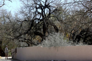 Beloved tree scrutinized yearly for signs of growth