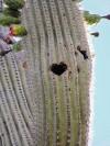 Bird nests pockmark tall saguaros