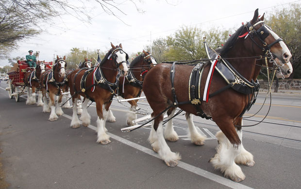 Auto Repair Chicago >> Budweiser Clydesdales at Arizona basketball pre-game rally