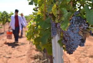 Mother Nature puts squeeze on Elgin wineries