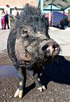 Pig Adoption