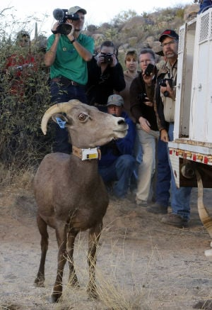 8 of 31 bighorns released north of Tucson have died