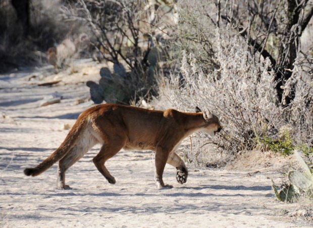 Hiker mountain lion survive close encounter on tucson trail for Fishing in tucson