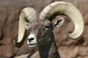 Timeline: Bighorn sheep relocation and deaths in the Catalinas