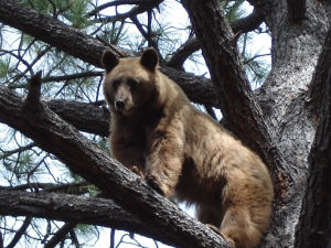 Bear sightings increase in Southeastern Arizona