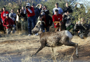 Bighorn sheep released in Catalinas