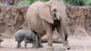 Video: Baby elephant makes debut