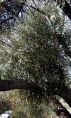 Mistletoe: parasite, seldom a killer