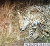 UA, government agencies release 4 photos of jaguar in Santa Ritas