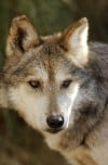 Feds: Mexican gray wolves not subspecies