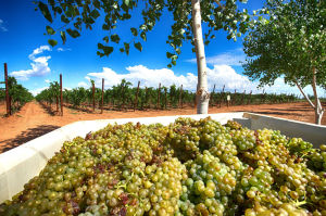 Arizona winemakers projecting record harvest