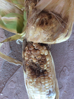 Corn earworms
