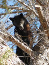 Bear taken from tree in Sierra Vista