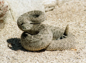 Rattlesnakes out and about in Southern Arizona; time to stay vigilant