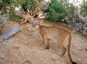 Mountain lions may be hunted down in Catalina Mountains