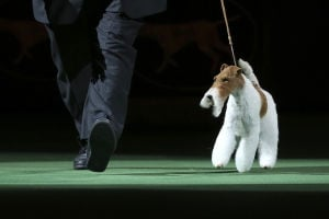 Photos: 138th Westminster Dog show