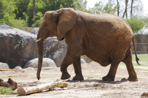 Photos: Semba due to deliver baby elephant soon