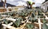 Agaves restored to stretch damaged by US fence work