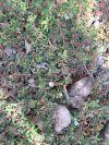 Garden Sage: Spurge