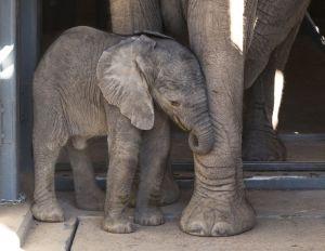 Meet Tucson zoo's baby elephant