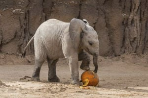 Nandi Notebook: Three months for Tucson's baby elephant