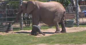 Watch the new elephant baby wake-up, frolic outside