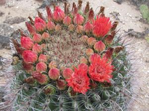 Barrel cacti — overshadowed by saguaros but still magnificent