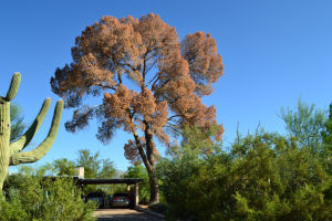 Beetles ravaging Tucson's big pines