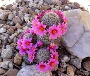 Photo of the day: Cactus blooms