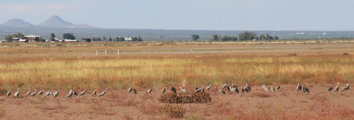 Enormous stately sandhill cranes return to southern for Az game and fish draw results 2017
