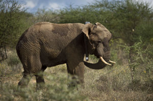 Photos: Kenya elephant collaring