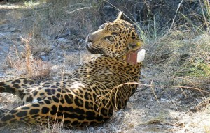 In reversal, feds support jaguar's habitat, recovery