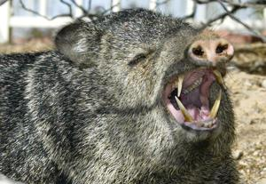 The Ten most significant Javelina Pet Peeves